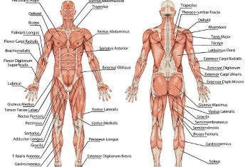 Diccionario de salud. Términos de anatomía